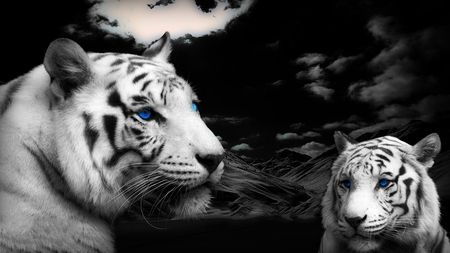 Blue-Eyed Tiger Picture | Blue-Eyed Tigers - tiger, siberian, black, cool, majestic, beautiful ...
