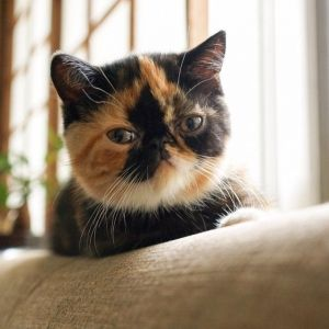 7 Popular Cute Flat Faced Cat Breeds In The World