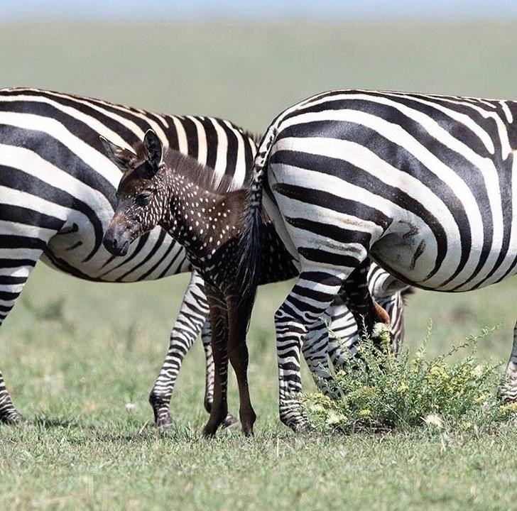 Spotted Wild Baby Zebra Has Spots Instead Of Stripes