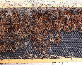 The Peace Bee Farmer: Wax Moths