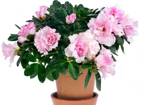 Azalia W Doniczce Azalea Flower Flower Pots Flowers