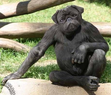 pug gorilla | Here were see the PuGorilla. Easily trained, very strong,  loyal