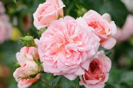 "Rosa ""Pierette"" - Rose"
