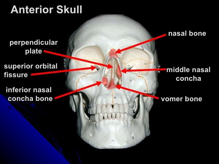 perpendicular plate of ethmoid bone에 대한 이미지 검색결과 | Head ...