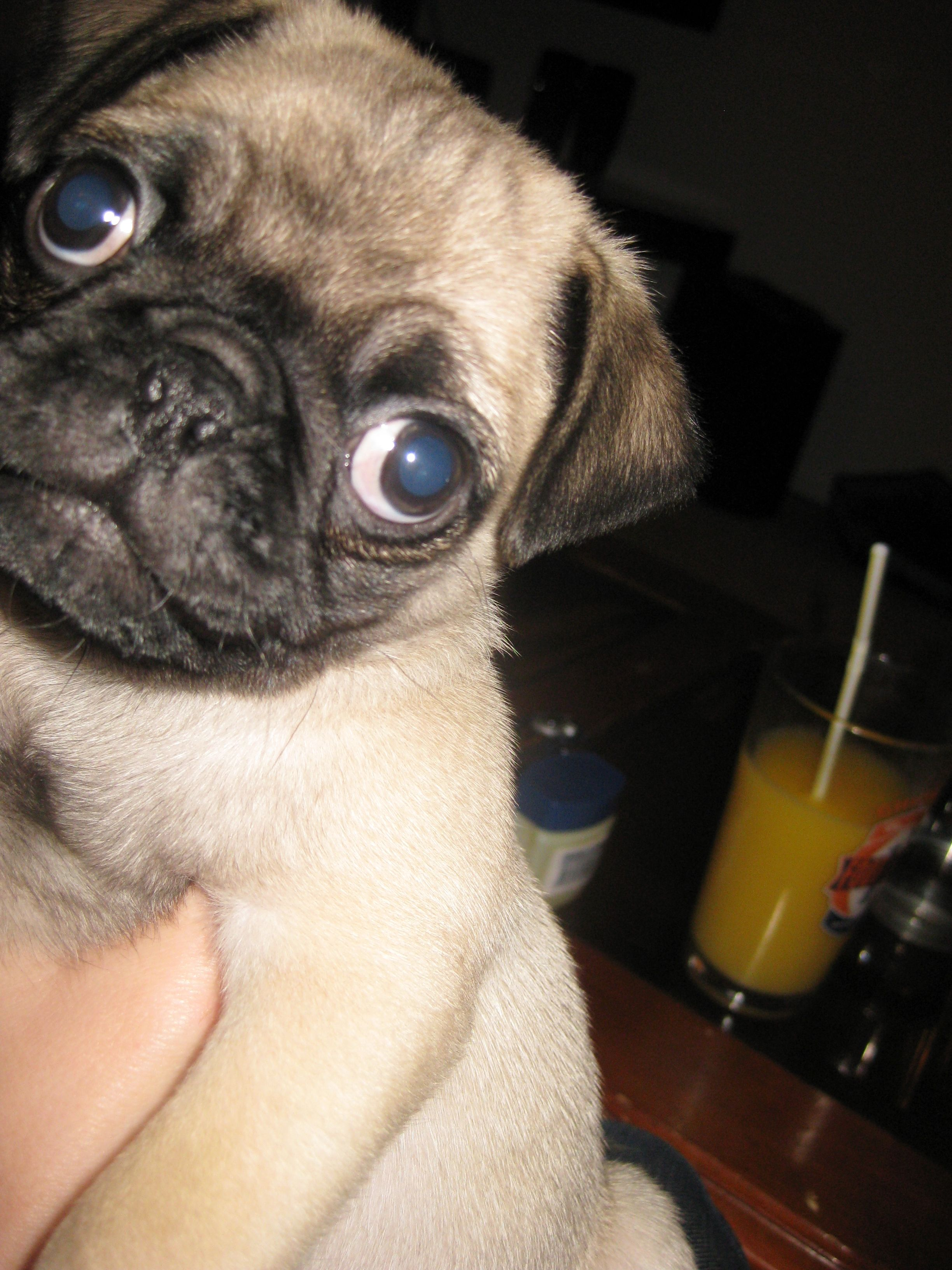 Peanut Pugs Dogs Animals