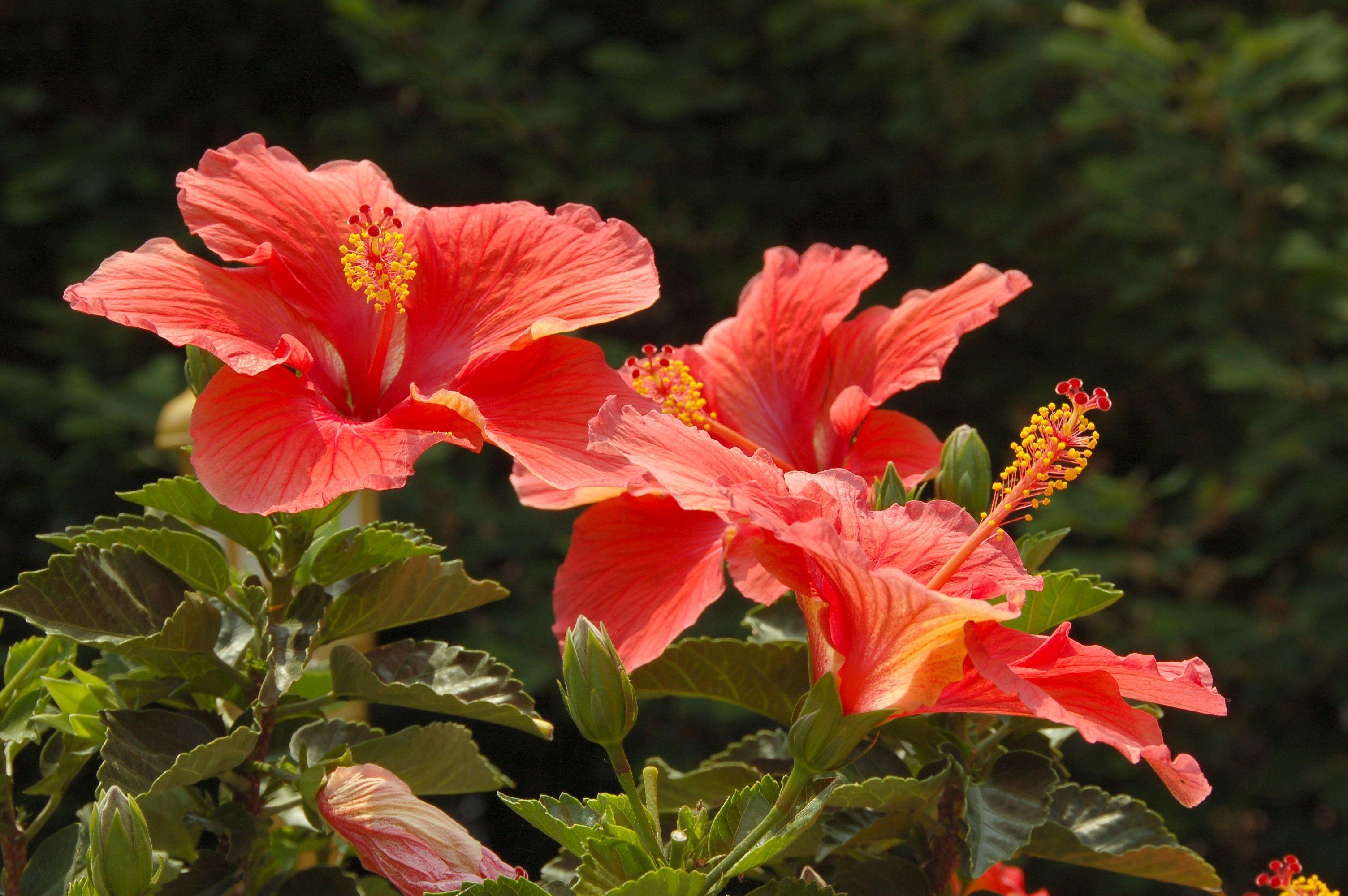 Pin by laura nagy maxim on flower beds pinterest hibiscus visit izmirmasajfo