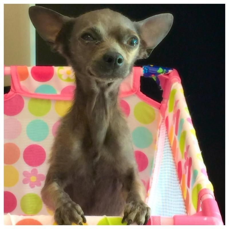 Adopt Gremlin On Beautiful Dogs Chihuahua Gremlins