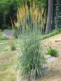 Feather Reed Grass Find A Native Version For South Slope Is 6ft Tall In Parking Strip And In South Slo Grasses Garden Feather Reed Grass Drought Tolerant