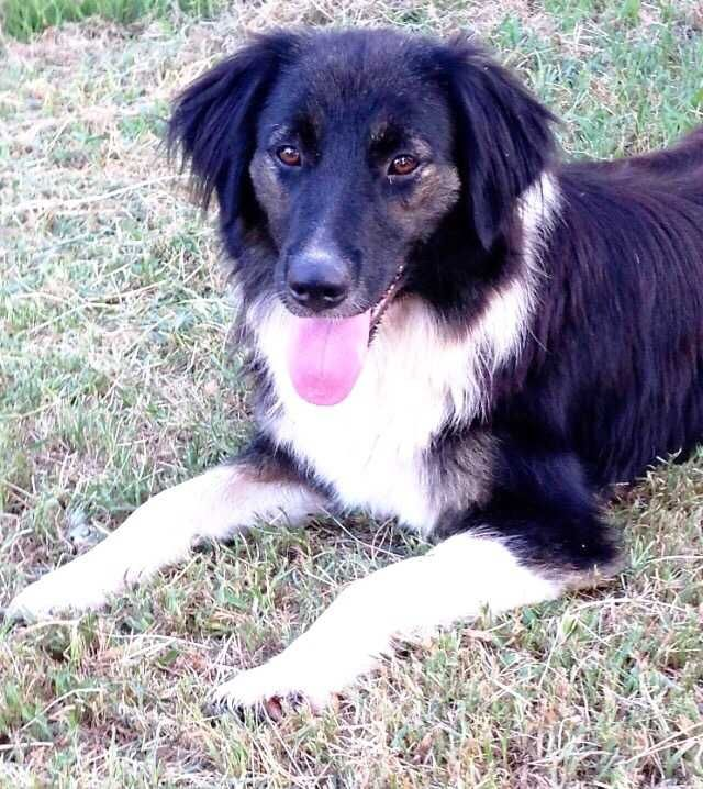 Border Collie Dog For Adoption In Conway Ar Adn 417663 On