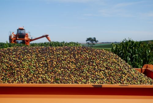 Coffee Tree To Cup In Brazil Part 2 The Harvest Coffee Tree