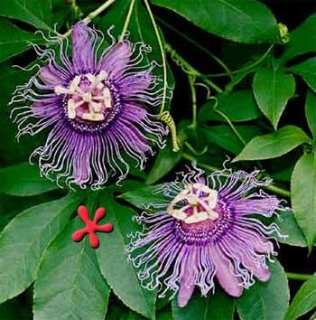 Passion Flower With Images Passion Flower Plant Flowering Vines Blue Passion Flower