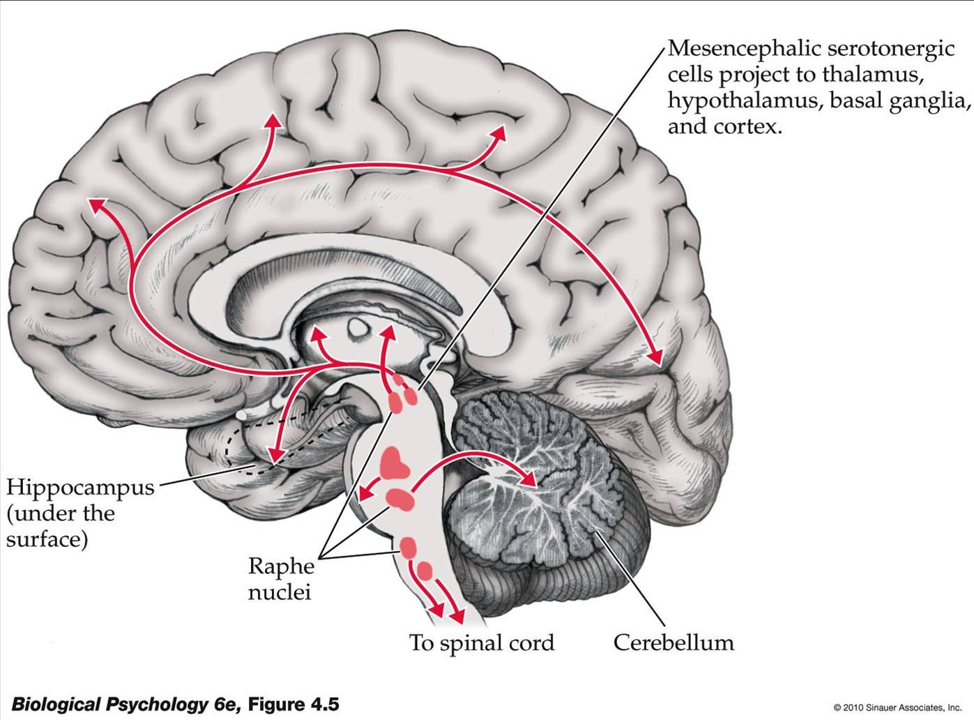 Serotonergic Pathways: Dorsal and Median Raphe ---> Cerebral Cortex ...