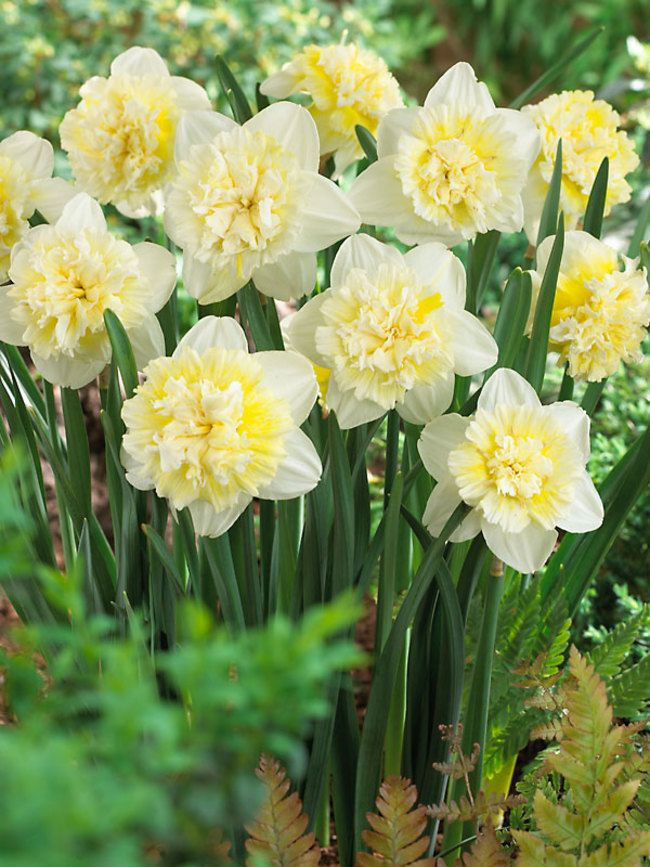 Pack of 12 Bulbs Perenial,Zones:3-9 12 Trumpet Daffodil Improved King Alfred