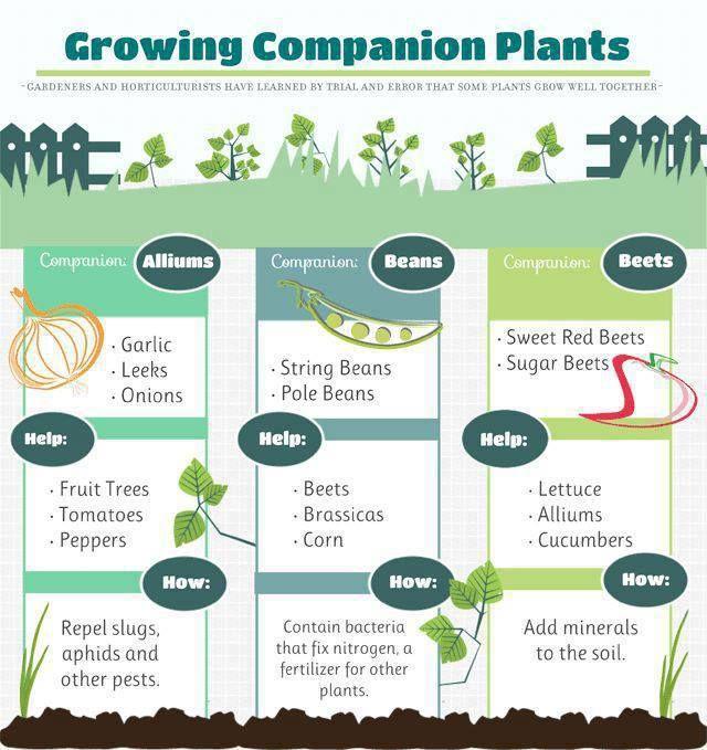 Pin By Linda Kite On Gardening Companion Planting 640 x 480