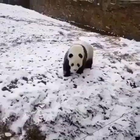 Panda being a panda Panda being a panda