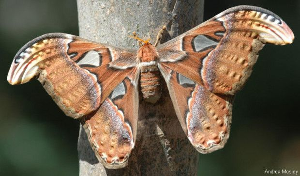 Atlas Moth This Species Is The Largest Moth In The World Measured By Wing Surface Area Female Atlas Moths Can Reach A Total Wing