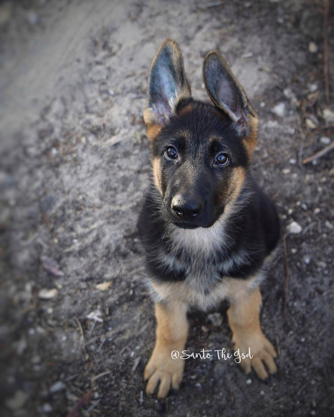 I Am 11 Weeks Old I Know Sit Down Fetch Drop And Am