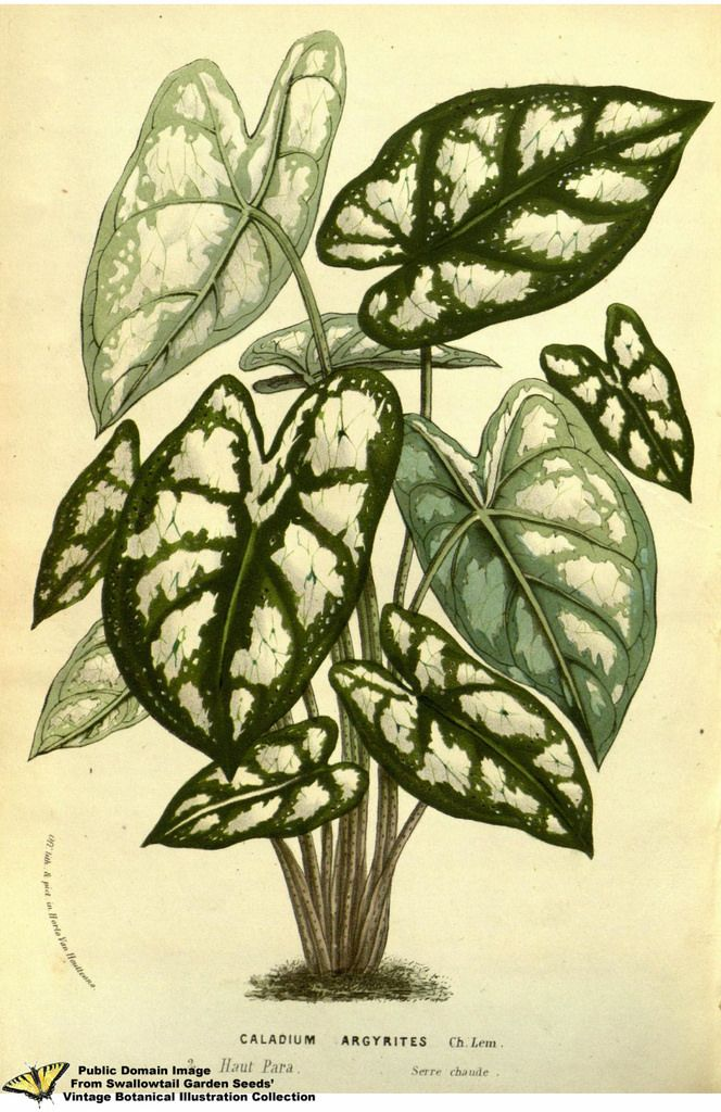 Humboldt Caladium. Caladium humboldtii (Raf.) Schott - Flore des serres et des jardins de l'Europe v.13 (1858)