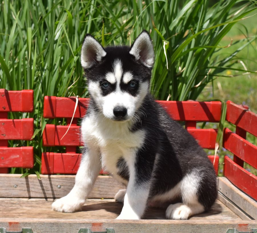 Husky Puppies For Sale Husky Puppies For Sale Puppies Dog Friends