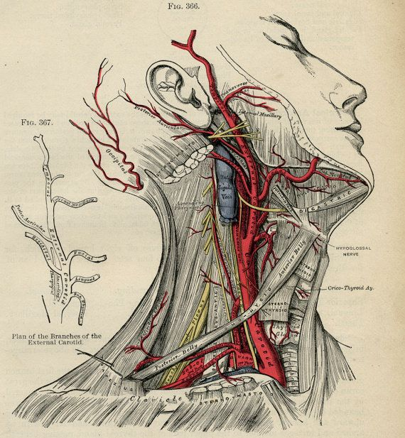 Human Head - Human Body Anatomy Illustration - 1887 Color ...
