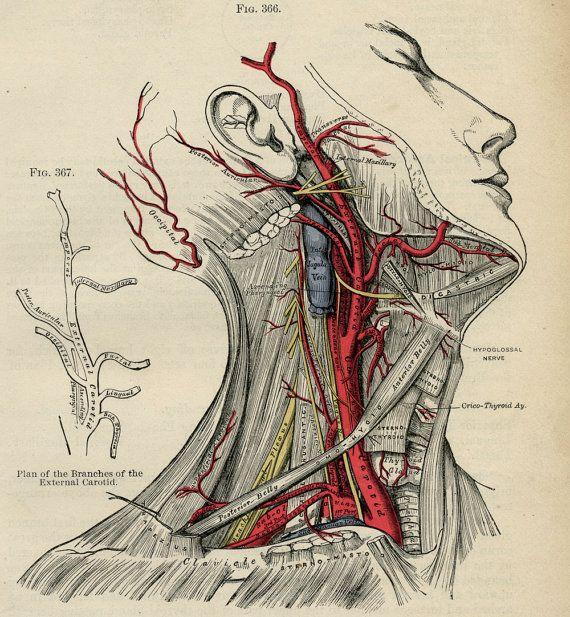 Human Head - Human Body Anatomy Illustration - 1887 Color Medical ...