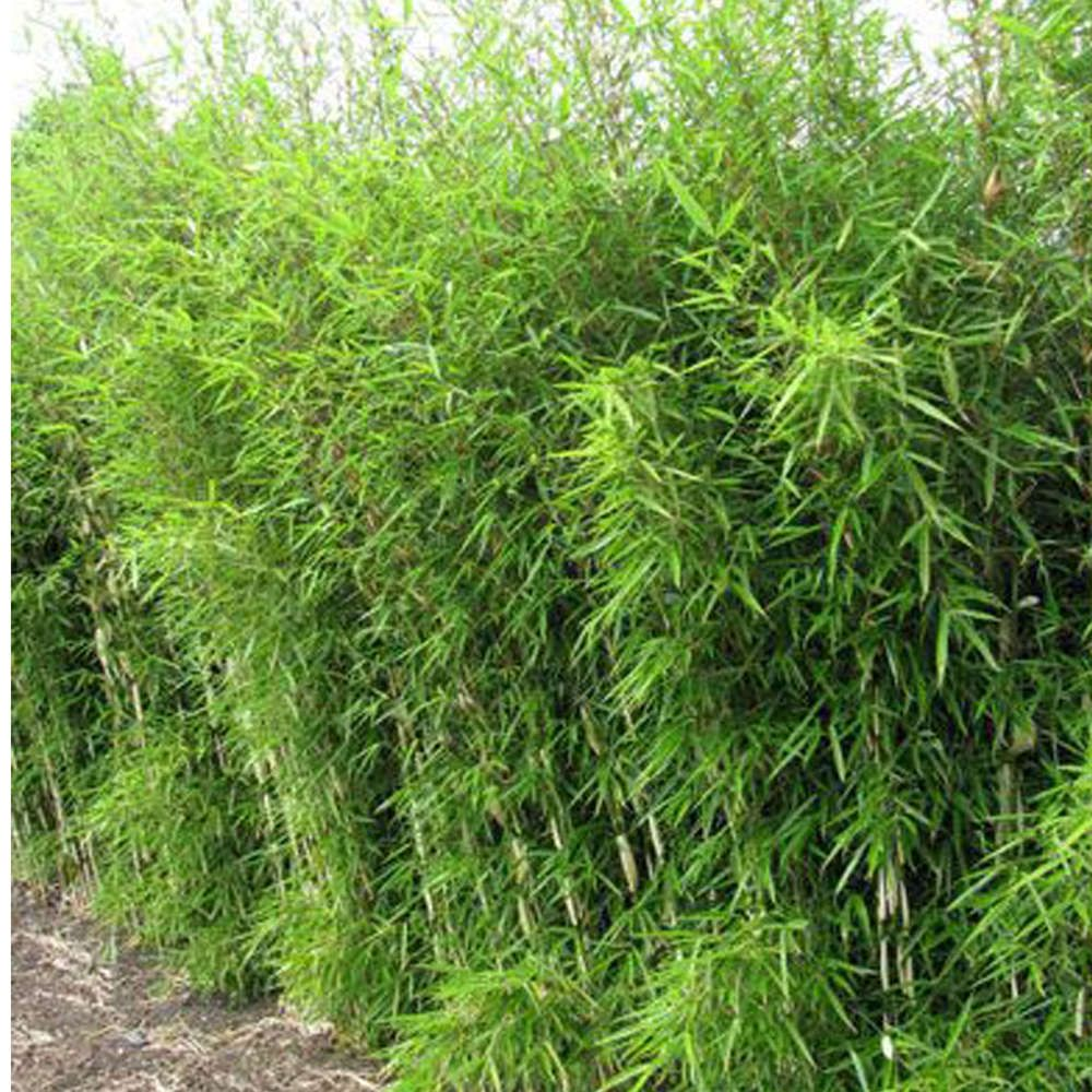 Schirmbambus Robusta Campbell With Images Non Invasive Bamboo Shrubs Plants