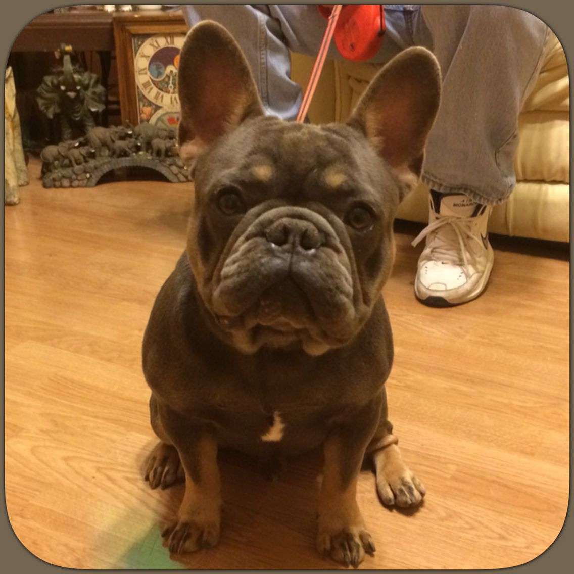 Gatsby my blue and tan Stud,French Bulldog | French bulldogs