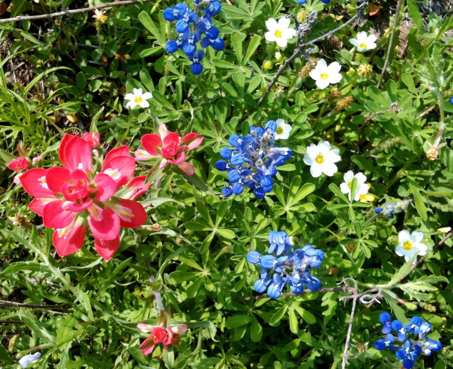 South Texas Flowers Texas Spring Flowers Pinterest Texas