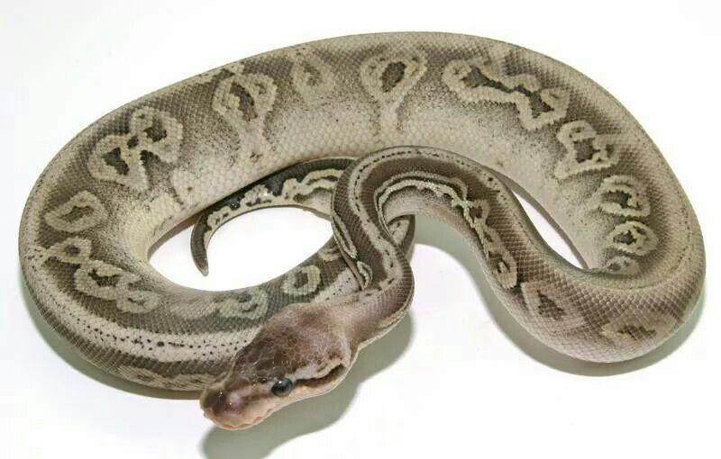 Silver Streak Super Pastel Black Pastel Loxahatchee Herp Hatchery Ball Python Morphs Herp Amphibians