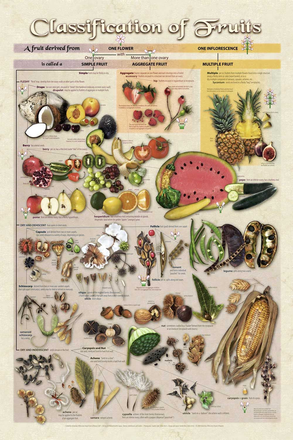 Fruit. Classification of fruits in botany 28