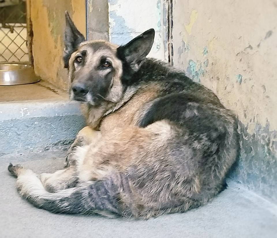 Beautiful Senior Shepherd Patiently Waits To Be Saved Dogs Dog