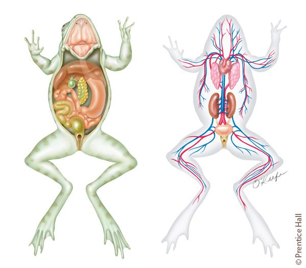 Frog internal anatomy-digestive and circulatory systems. Art by ...