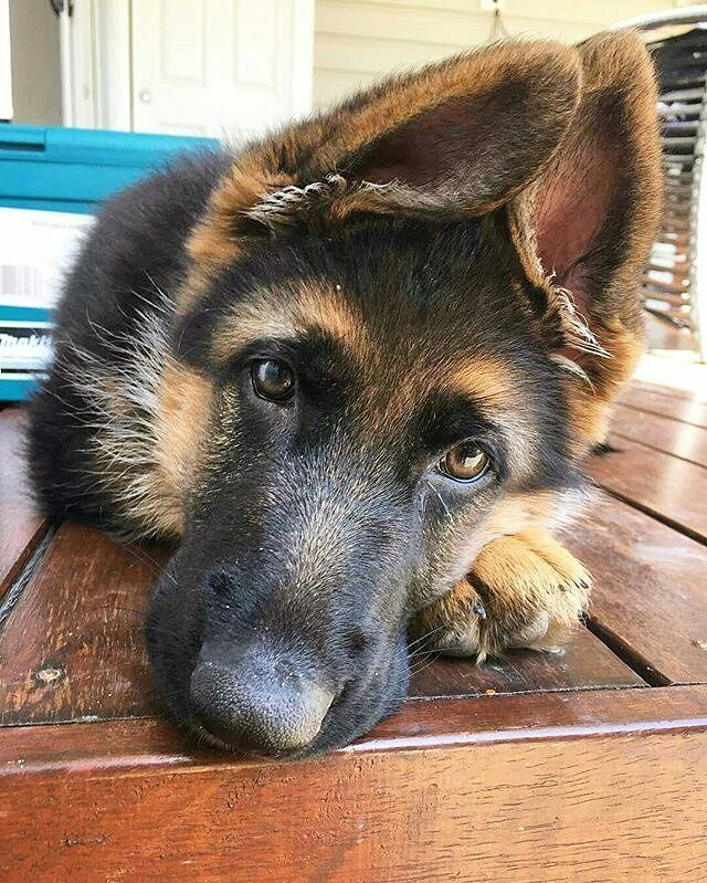 #Repost @thegermanshepherdworld To be featured Follow @thegermanshepherdworld Use #thegermanshepherdworld Credit: @mila.thegermanshepherd