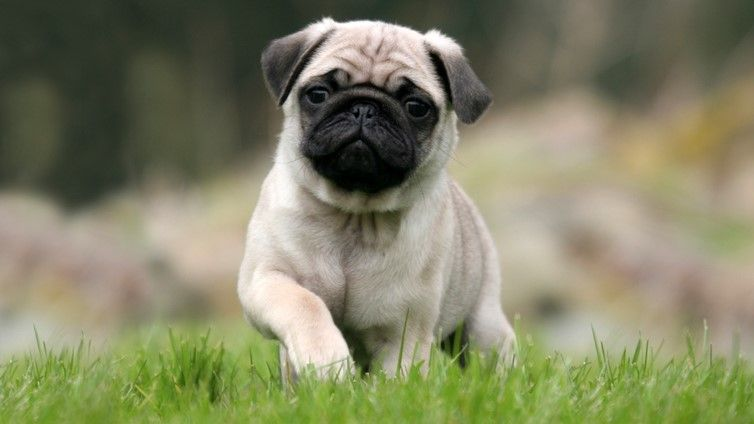Common Skin Problems In Pugs Dog Wallpaper Pug Wallpaper Cute Pugs