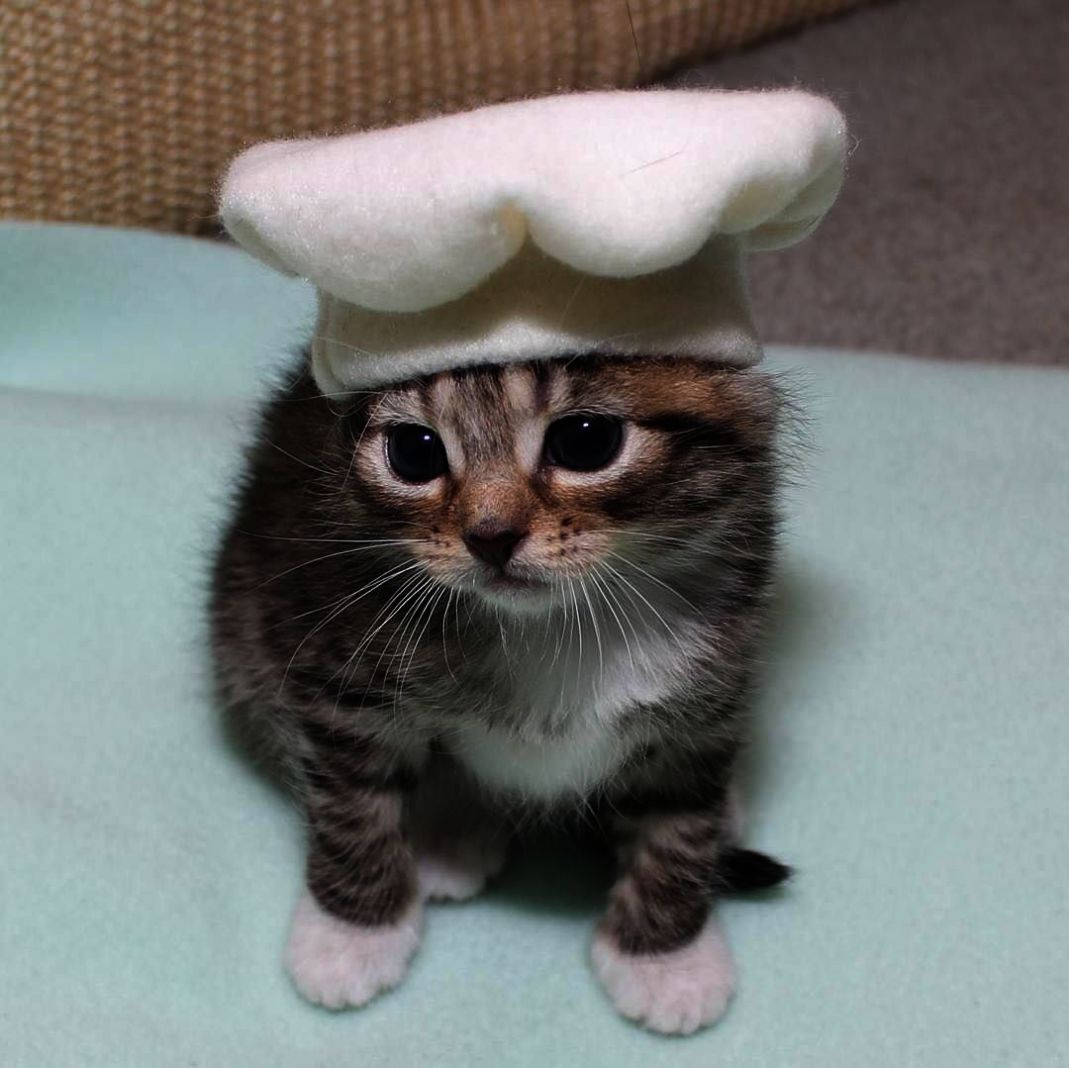 Let S See I Ve Been A Chef In Training For The Last Year Cute Cat Wallpaper Cute Cats Kittens Cutest