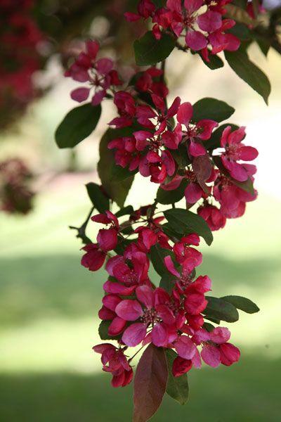 Malus Moerlandsii Profusion Gradina Outdoor Room Pinterest Crab Apples Gardens And Plants