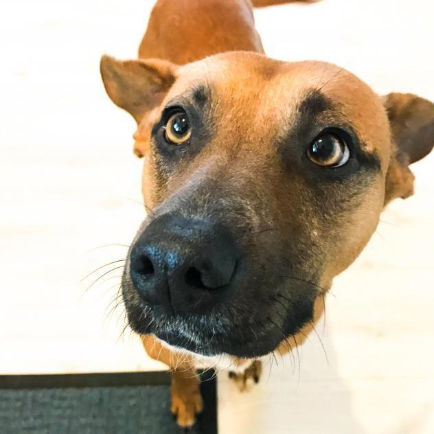 Adopt Thelma On Dogs Labrador Retriever Animals