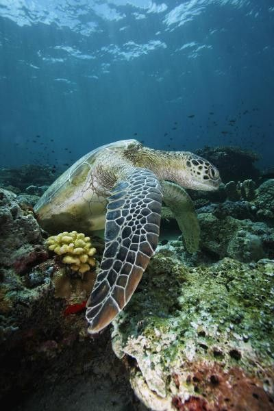 Green Sea Turtle On Coral Reef, Endangered, Sipadan Island, Celebes Sea, Borneo by Hiroya Minakuchi
