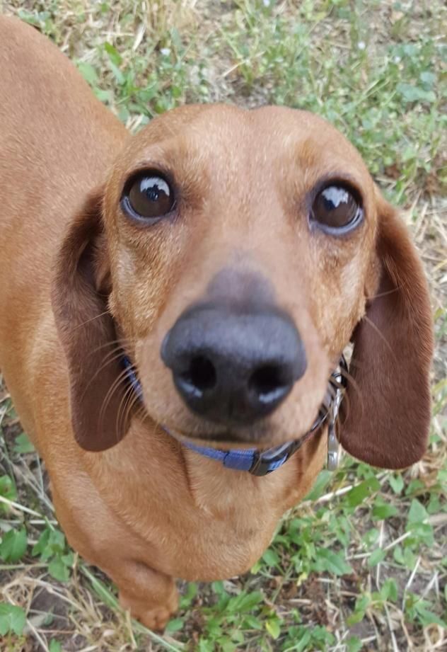 Adopt Mason On Weenie Dogs Miniature Dachshunds Dogs