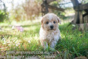Puppies For Sale At Toy Puppies Are Us New South Wales Nsw