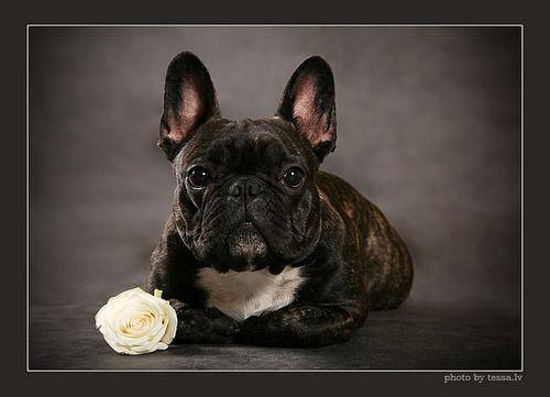 Beautiful Brindle And Rose French Bulldog Names French
