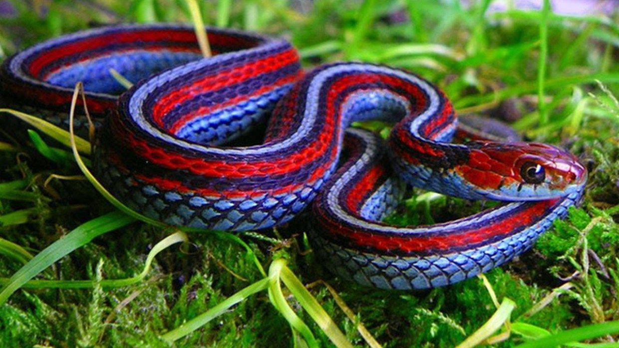 The California Red Sided Garter Snake Is One Of The Most Colourful