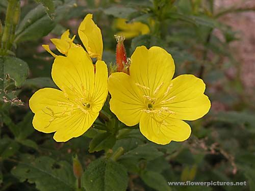 Pictures Of Flowers Sundrop Yellow Evening Primrose Flower Pictures Plant Pictures Evening Primrose