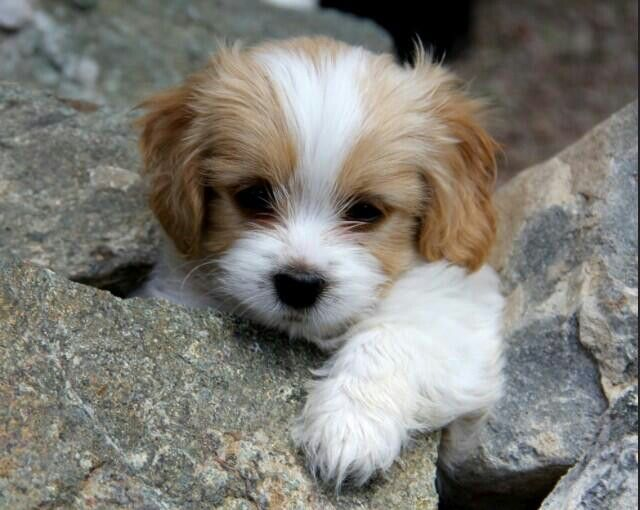 Pin By Vanshika Singh On Dogs Cavachon Puppies Puppies Cute Puppies