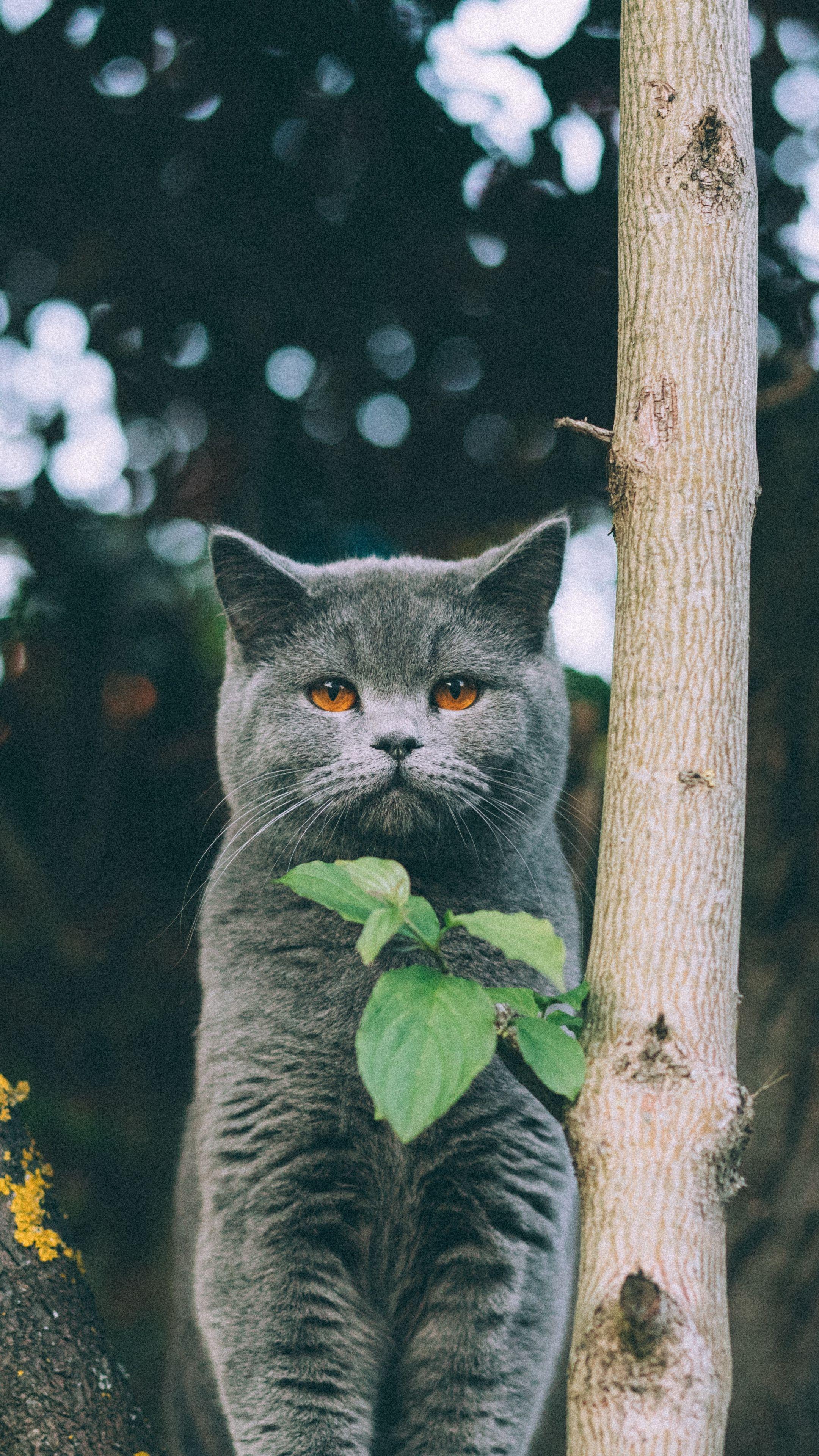Animals kitten british cat wallpapers hd 4k