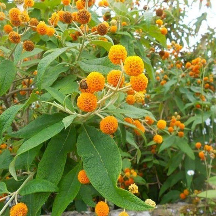 7 Unexpected Ways When Does Buddleia Globosa Flower Can Make Your Life Better When Does Bud In 2020 Plants Fragrant Plant Flowers