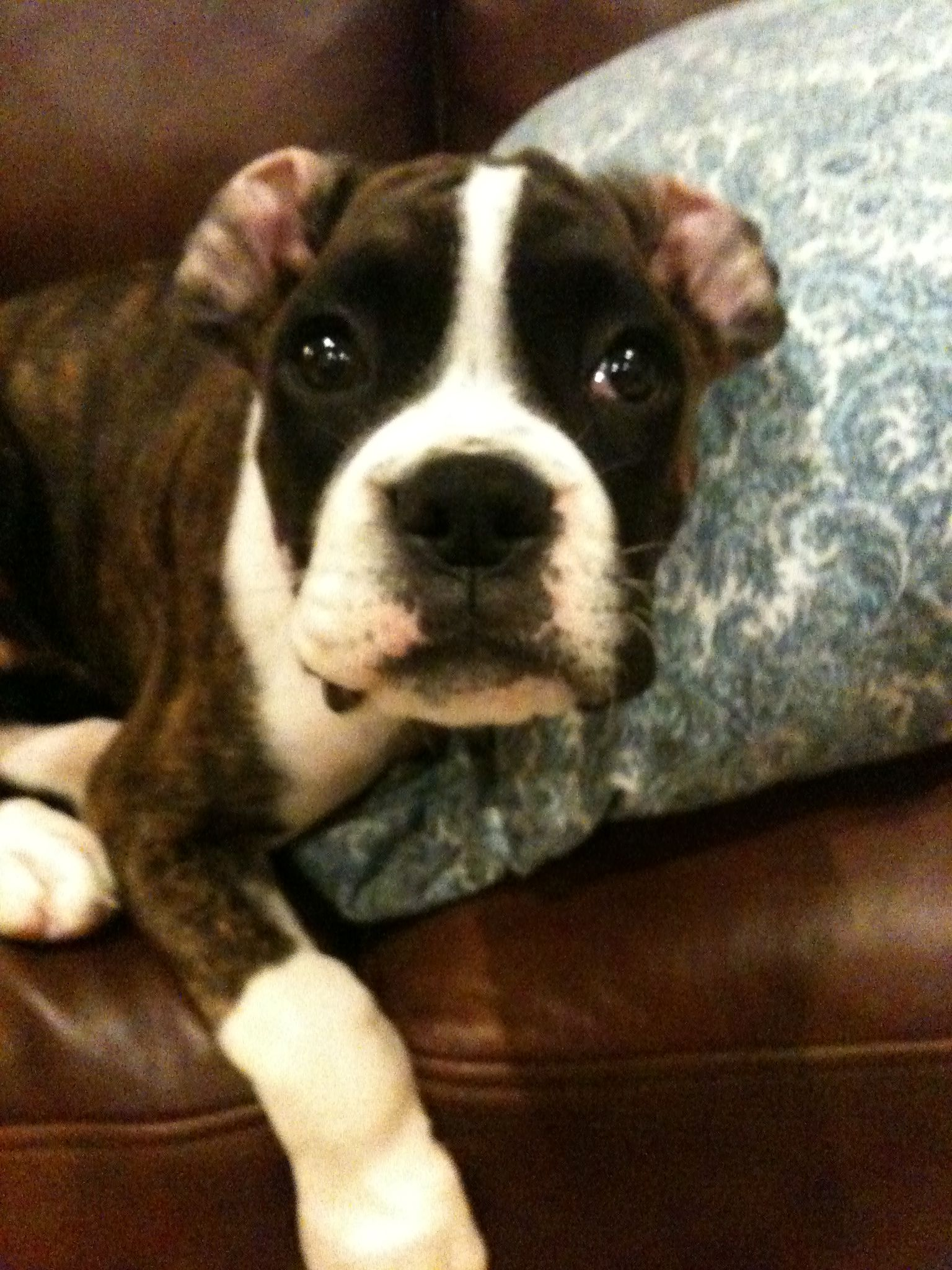 Purl Just Waking Up From Her Beauty Sleep Boxer Puppies Dog Love Boxer Dogs