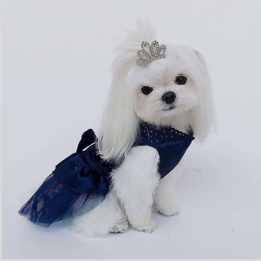 Follow Maltese Dog Love For More Via Ms Charmin Love To Tag