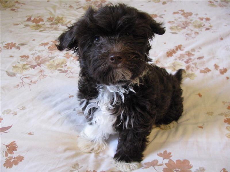 Chocolate havanese puppy breeder east tn havanese