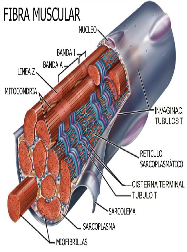 TEJIDO MUSCULAR   mirandafisioterapia   Músculos   Pinterest ...